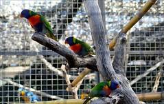 Loris arco iris (MarisaTárraga) Tags: españa spain madrid zooaquarium loroarcoiris animal pajaro ave bird naturaleza nature ngc