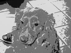 Hjordis, toller (delnaet) Tags: nova dog pet hond chien retriever toller play novascotiaducktolligretriever