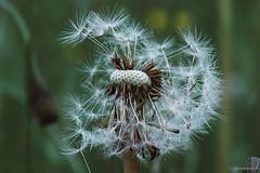 Dandelion IV (spastman1) Tags: dandelion frühling löwenzahn nx nx1 pusteblume samsung closeup flora flower flowers garden nature spastman1 spring springtime
