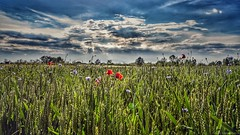 A palette of natural colors ... (Federico Fulcheri Photo) Tags: federicofulcheriphoto©️ italy piedmont relax clouds sky sunset colors artisticphotography horizon agriculture rural poppy flowers grass grassland landscape nature nopeople outdoors snapseed eos canonitalia canon