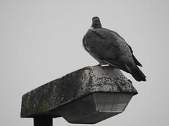 DSCN3545 (Kellerelb) Tags: taube vogel laterne