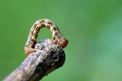 365 - Image 141 - Caterpillar... (Gary Neville) Tags: 365 365images 6th365 photoaday 2019 sony sonycybershotrx100vi rx100vi vi raynox garyneville