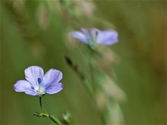 Lin (danielled61) Tags: lin bleu chemin printemps macro duo