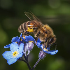 forget-me-not (t.schwarze) Tags: biene bee forgetmenot vergismeinnicht blume flower blue blau gelb yellow insect insekt