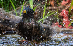 Starling-19 (ianrobertcole1971) Tags: bird garden bathing splash reflection passerine nikon d7200 300mm f4 pf ed starling