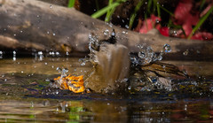 Robin-39 (ianrobertcole1971) Tags: bird garden bathing splash reflection passerine nikon d7200 300mm f4 pf ed robin