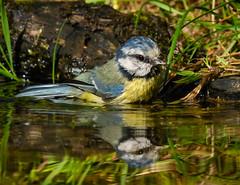Blue tit-1 (ianrobertcole1971) Tags: bird garden bathing splash reflection passerine nikon d7200 300mm f4 pf ed blue tit