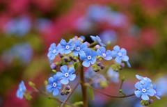(farmspeedracer) Tags: mai may flower blossom bokeh park garden 2019 blue
