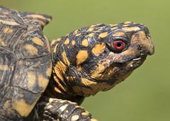 box turtle (watts photos1) Tags: box turtle turtles yellow black garden nature wild life wildlife reptile reptiles tortoise eye mirrorless macro