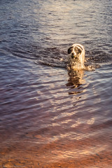 Good Boy Swimming 2 (bigowl11) Tags: goodboy dog dogs swimming lake fetch fetching ball water