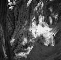 Tree, Somerleyton Gardens (nikolaijan) Tags: fuji neopan film 120 somerleyton blackandwhite yashica 124g 6x6 england norfolk iso400