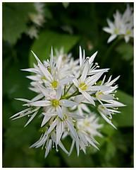 detonation (Gi8SKN) Tags: wildgarlic flower white garlic gi8skn antrim irteland carrickfergus ireland cameraphone samsung galaxy s7 green dof