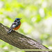 Blue-capped Rock-thrush (Monticola cinclorhyncha)