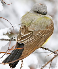 May 21, 2019 - An eastern Kingbird tries to stay warm.  (Bill Hutchinson)