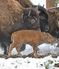 May 21, 2019 - A bison calf with the herd staying warm. (Bill Hutchinson)