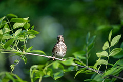 Face to Face (gubanov77) Tags: birds nature songthrush thrush macro dof bokeh kuzminki lublino moscow russia