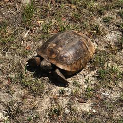 Walkabout (ktmqi) Tags: florida gulfcoast nature turtle weekiwacheepreserve