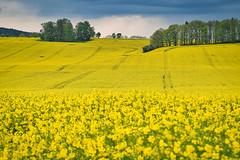 Rapsblüten (heiko bo) Tags: heikobo thüringen rapsblüte raps gelb blüte feld rapsfeld