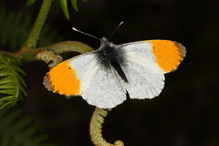 Orange Tip Butterfly (Rowan Castle) Tags: img5396 butterfly orangetip lepidoptera macro canon 5dmkiii glasdrum