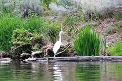 Great Egret (hopping_jay) Tags: birds birding birdwatching birdphotography klamathcounty oregon southernoregon egret egrets greategret ardeaalba ardeidae