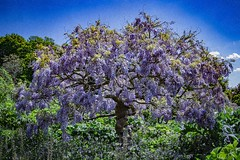 So beautiful tree  .. (Julie Greg) Tags: flower flowers tree nature nautre texture colours canon spring2019 spring park leedcastle kent