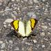 Yellow Orange Tip (Ixias pyrene)