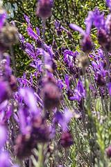 Flor de lavanda (lebeauserge.es) Tags: cerveradebuitrago madrid españa naturaleza campo atazar planta flor