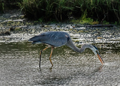 Great Blue Heron (lablue100) Tags: greatblueheron food heron action nature landscapes hungry fishing legs beak water pond sea fish tall feathers colors