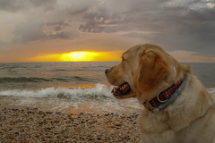 Puller enjoying the Sunset (lablue100) Tags: pet dogs animals dog lab yellowlab labrador retriever labradorretriever beach water waves sea rocks tides clouds sky nature landscapes sunset colors sun day beauty action