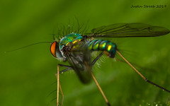 3X Long-legged Fly (strjustin) Tags: longleggedfly fly insect bug beautiful macro mpe