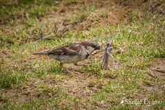 Sparrow & Grasshopper Tussle (flyingkiwigirl) Tags: anglican aupouripeninsula bandedrail bird camp capereinga church doc emu farnorth fernbird kaitaia maori ratana reefheron stjosephs tapotupotubay tekao tepaki walk