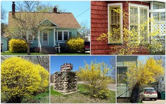 Finally forsythia season (yooperann) Tags: spring flowers bushes forsythia collage marquette upper peninsula michigan midmay may yellow landscaping