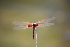 Dragonfly (jeffsedaphotography) Tags: dragonfly wildlife insect bug nature