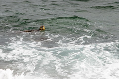 Green Sea Turtle Surfacing (dmills727) Tags: hawaii hookipabeachpark maui herp reptile turtle