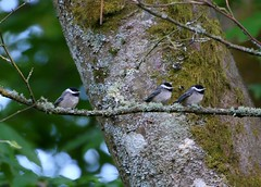 Black-capped Chickadee (Jewill16) Tags: backyard bird songbird surreybc