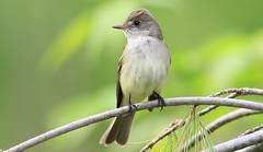 willow flycatcher at Lake Meyer Park IA 653A1138 (naturalist@winneshiekwild.com) Tags: willow flycatcher lake meyer park winneshiek county iowa larry reis