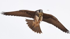 Lanner Falcon  (Falco biarmicus) (Ian N. White) Tags: lannerfalcon falcobiarmicus mmadinare botswana