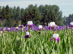 Iris Fields (arlinescottphotography.com) Tags: arline scott photography willamette valley oregon silver falls iris farm cascade mountain range salem waterfall water creek current leaves green flower rhododendron purple pink yellow backside lavender forget me not pansy violet columbine planter poppy pole wood tag clover