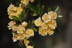Il Glicine e La Lanterna (Elizabeth Almlie) Tags: italy toscana tuscany vignola agriturismo ilglicineelalanterna roses flowers yellow