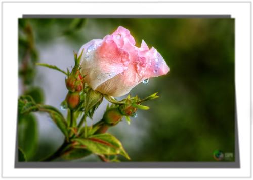 """"""" C'est dans la rosée des petites choses que le cœur trouve son matin et se rafraîchit.  """" Citations """" de Gibran Khalil Gibran"""
