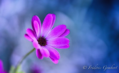 I am ...not the walrus (frederic.gombert) Tags: flower flowers pink light color colors sun sunlight red blue daisy bloom blossom spring macro nikon