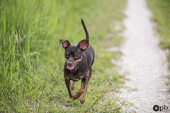 Court petit Ooligan, court... (Philippe Bélaz) Tags: ooligan ratierdeprague balades brun chemins chiens chocolat courir langues printemps promenade vert