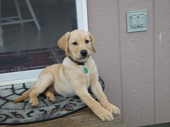 Porch Pup (arlinescottphotography.com) Tags: arlinescottphotography applegate loop puppy dog yellow labrador retriever southbays phoebe snow angel wings stuffy toy play kennel cute cuteness overload toe beans washington state rochester 2004 vancouver station