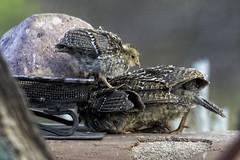Portal, AZ: Gambel's Quail Chicks 7311 (donna lynn) Tags: 2019 arizona birds birding nature wildlife nikon casadeconrad portal gambelsquail quail babybirds callipeplagambelii
