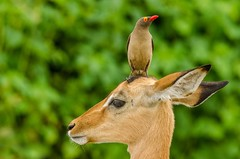 Best friends... (lyn.f) Tags: buphaguserythrorhynchus redbilled oxpecker impalaaepycerosmelampus chobenationalpark botswana africa safari nikon