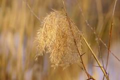 Камыш весной / Spring reed (Владимир-61) Tags: весна апрель природа камыш spring april nature reed sony ilca68 minolta75300 russia natureinfocusgroup