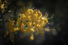 Yellow .. (Julie Greg) Tags: yellow flower flowers spring spring2019 nature nautre park light colours canon