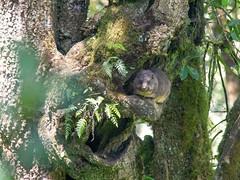 Tree hyrax, Kilimanjaro NP, Tanzania (Amdelsur) Tags: tanzanie damandesarbres continentsetpays parcdukilimandjaro afrique africa damanarboricole dendrohyraxdorsalis kilimanjaronationalpark tz tza tanzania treehyrax kilimandjaro