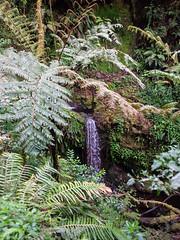 Tree fern, Kilimanjaro NP, Tanzania (Amdelsur) Tags: parcdukilimandjaro continentsetpays tanzanie afrique africa kilimanjaronationalpark tz tza tanzania kilimandjaro
