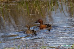IMG_0566 cinnamon teal (starc283) Tags: bird birding birds flickr flicker starc283 duck teal cinnamonteal naturesbest naturewatcher